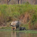 Wild elephants in Kaziranga NP