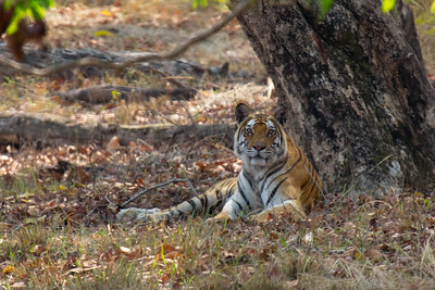 Tigress with four cubs, Bandhavgarh NP
