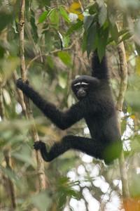 Hoolock Gibbon, Kaziranga NP