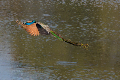 Flying Peacock, Satpura NP