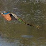 Flying Peacock, Satpura NP