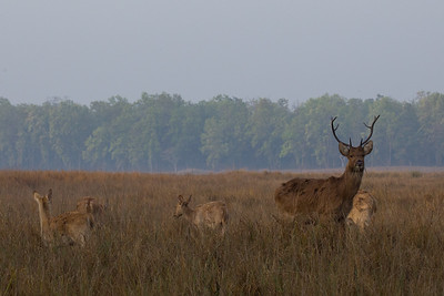 Barasingha (Swamp Deer) in Kanha NP