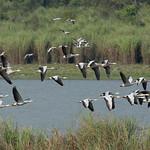 Bar-headed Goose, Kaziranga NP
