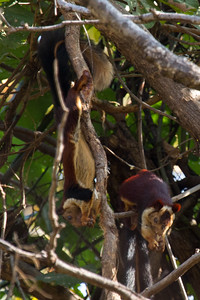 Indian or Malabar giant squirrel, Satpura NP
