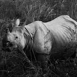 Indian One-horned Rhino, seen from elephant back in Kaziranga NP