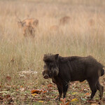 Wild boar, Bandhavgarh NP