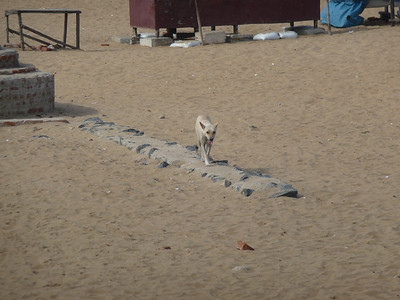 one of the many feral dogs, this one on the beach.