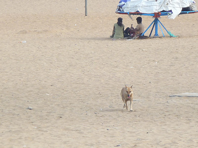 2 more feral dogs at Elliot's Beach