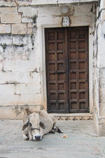 Udaipur cow needing something to do.