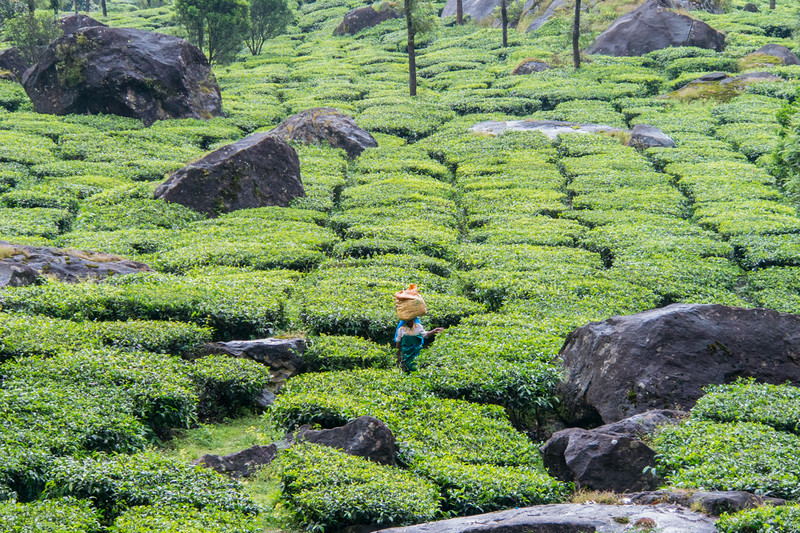 The tea region in Kerala in southern India.
