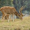 Spotted Deer in Kanha National Park