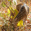 Chital (spotted) deer were abundant in the park and are one of the main prey animals for the tigers.