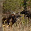 Gaur are one of the largest living land animals.