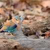 Another Indian Roller posing for us.