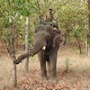 Our last safari in Bandhavgarh started with elephants.  This ranger was on patrol.