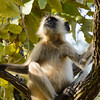 Grey langur monkeys were prevalent in the park.