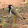 The red-wattled lapwing is mostly found near water.