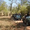 Even after the tiger went back in the bamboo, many safari jeeps waited around for another glimpse of him.
