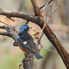 A blue-capped rock thrush. It winters in India and summers in the Himalayas.