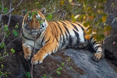 India Tigers 2019