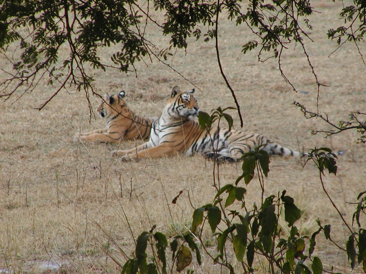 The guide almost promised that we would see a tiger in this park.  We saw this tiger and her cub by 7:30am.