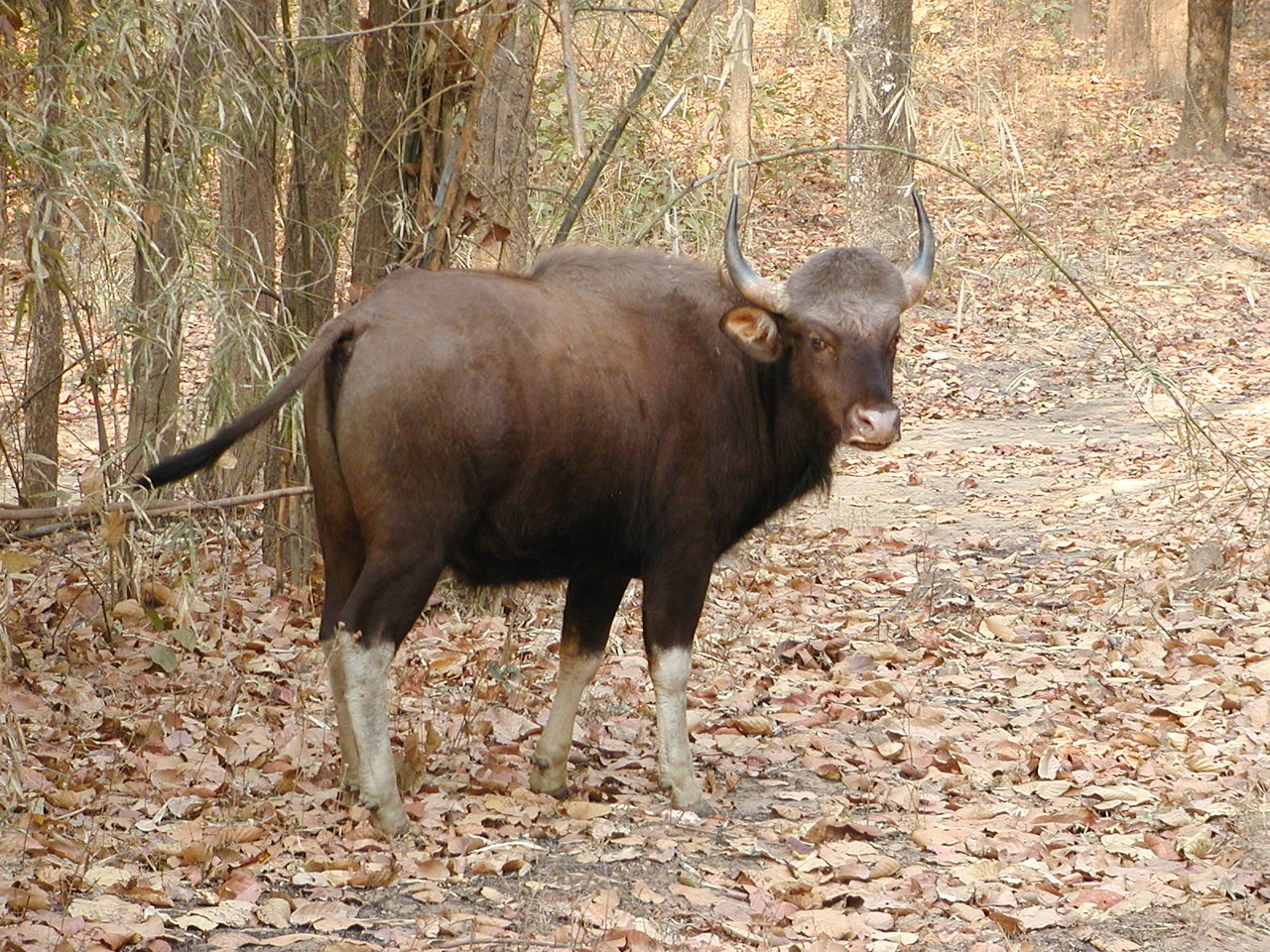 Gaur are big creatures and not normally vulnerable to attack by a tiger.  However, one tiger had leqanred to hunt gaur successfully.  We were not allowed to go see that tiger with its kill.  We understood the need to avoid spooking the tiger off its food.