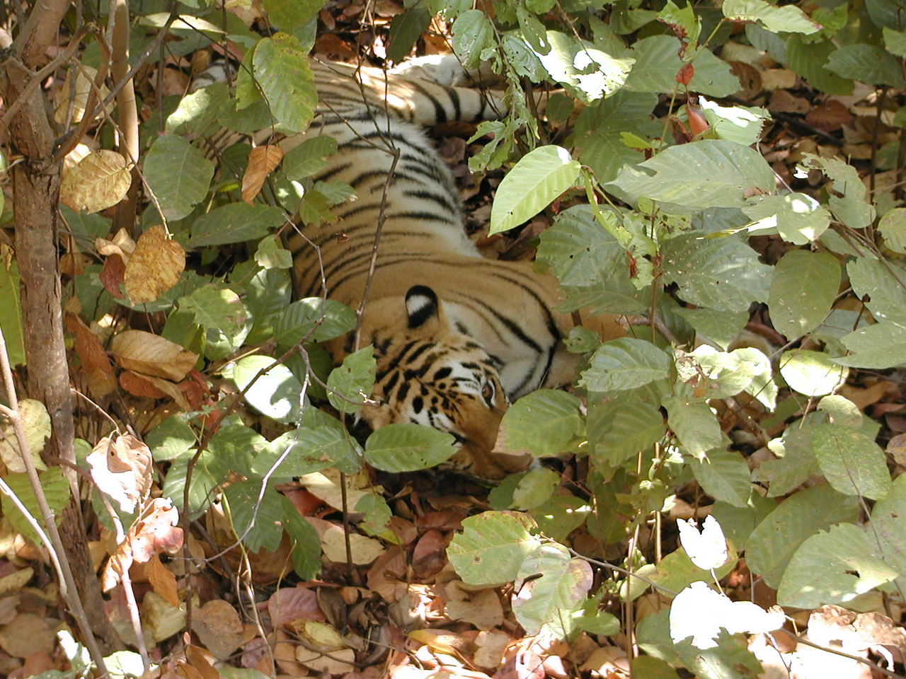 Another tiger seen from elephant-back.