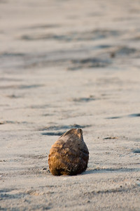 coconut shell on the sand