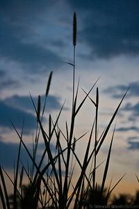 sunset stalks