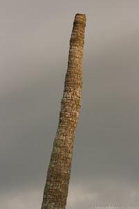 coconut stump