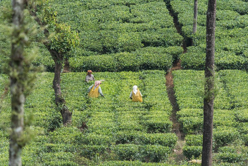 Women working the tea fields.