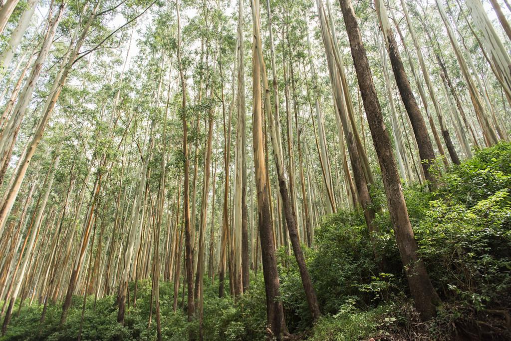 Gorgeous eucalyptus forest.