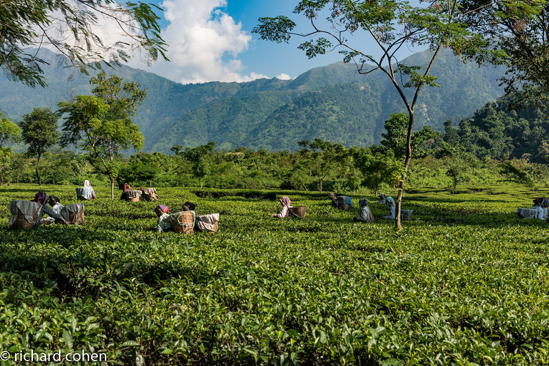 Women picking tea down in the valley.