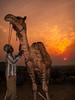 Pushkar Camel Fair, Rajhastan