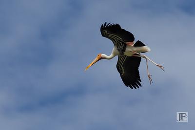 Painted Stork, Bharatpur