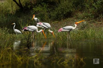 Painted Storks, Bharatpur