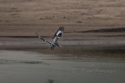 Pied Kingfisher, Chambal