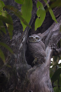 Spotted Owlet, Chambal