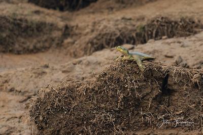 Indian Flapshell Turtle, Chambal River