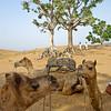 Camel chatter