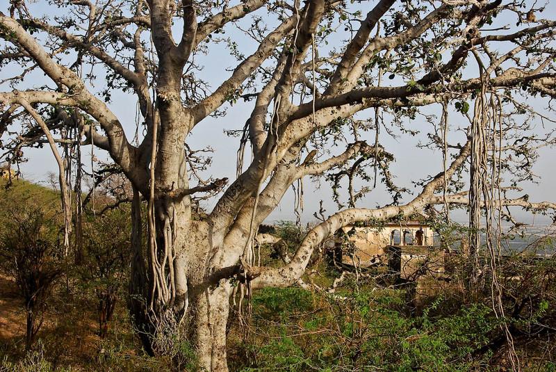 Beautiful Banyon tree in Bundi Palace