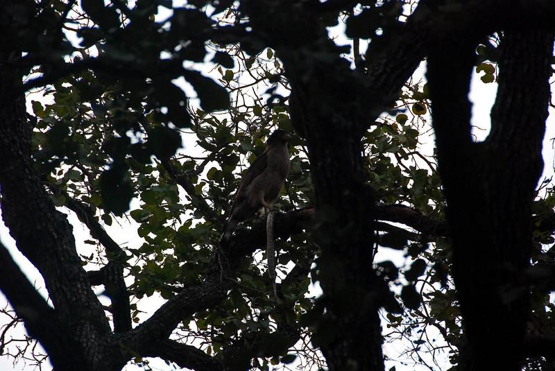 Eagle with captured snake.