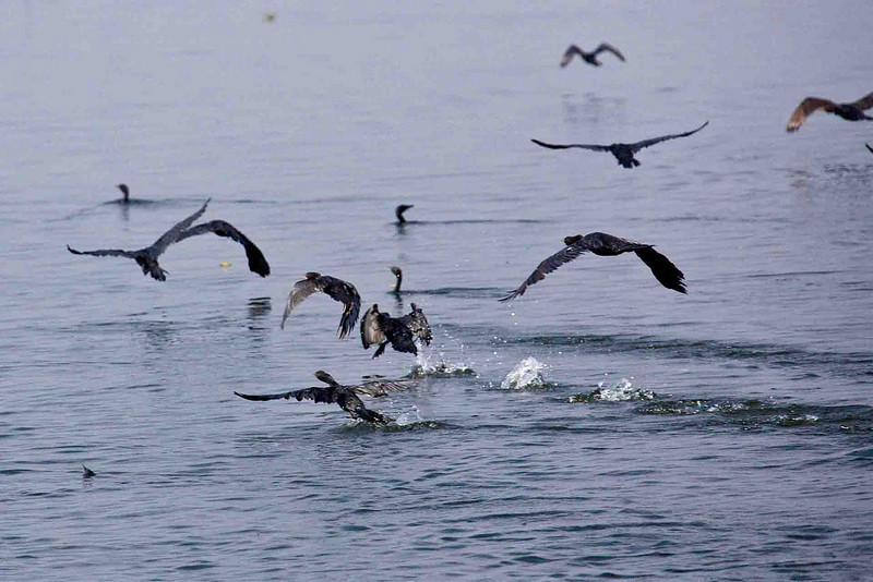Cormorants by the hundred fleeing the approach of our 3 mph houseboat.