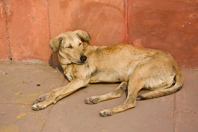 One of the dogs lazing around the Red Fort at Chandni Chowk, Old Delhi.  Photographed February 2009 - © 2009 Lesley Bray Photography - All Rights Reserved.