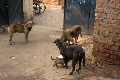 More dogs at Chandni Chowk, Old Delhi.  Photographed February 2009 - © 2009 Lesley Bray Photography - All Rights Reserved.