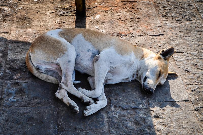 India Stray Dog