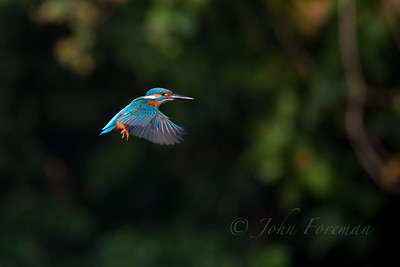 Common Kingfisher, Goa