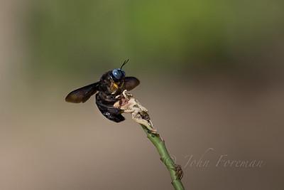 Carpenter Bee, Goa