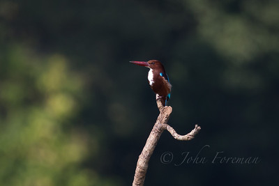 White Throated Kingfisher, Goa