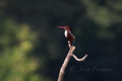 White Throated Kingfisher, Goa